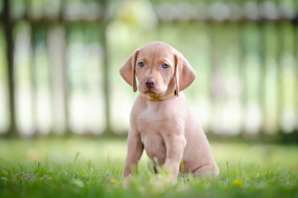 View Ad: Vizsla Puppies for sale in Arkansas USA