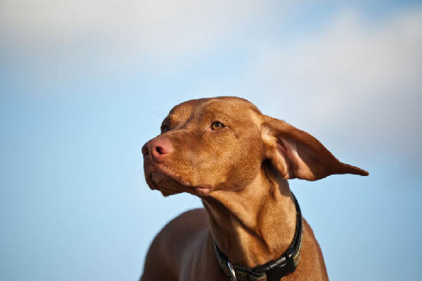 Hungarian Vizsla Dogs: Breed Guide