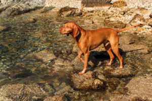 Should I Get a Male or Female Vizsla?