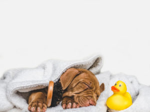 Ten Tips on How to Bathe Your Vizsla