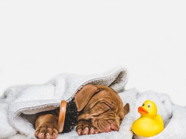 Ten Tips on How to Bathe Your Vizsla