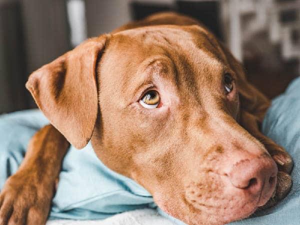 Vizsla Dog Diet Requirements
