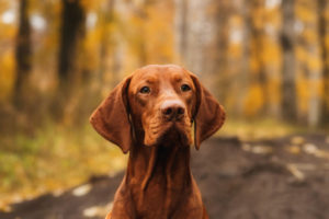 Tips to keep your Vizsla Dog happy