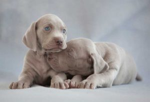 A Guide to Weimaraner Puppies