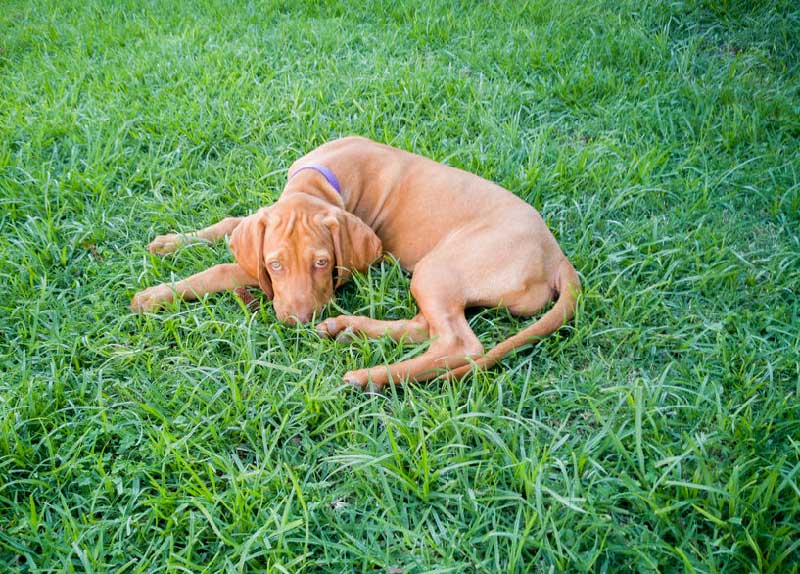 7 Signs Your Vizsla is Suffering from Stress
