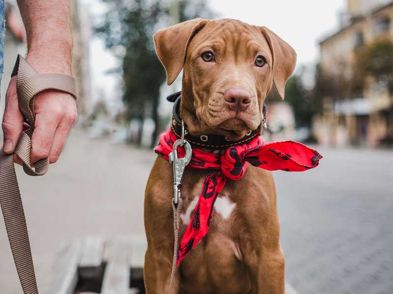 Healthy Treats for Your Vizsla: What to Look for and What to Avoid