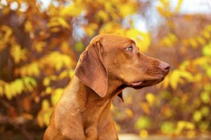 15 Things All Vizsla Owners Must Always Remember
