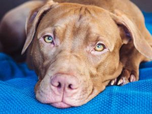 Is Vizsla the Right Breed for You?