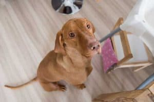 Vizsla Feeding Guidelines