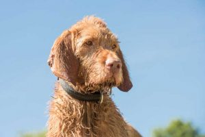 15 Interesting Wirehaired Vizsla Dog Care Facts