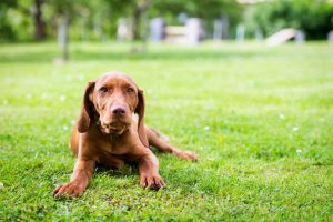 How to Discipline a Vizsla?