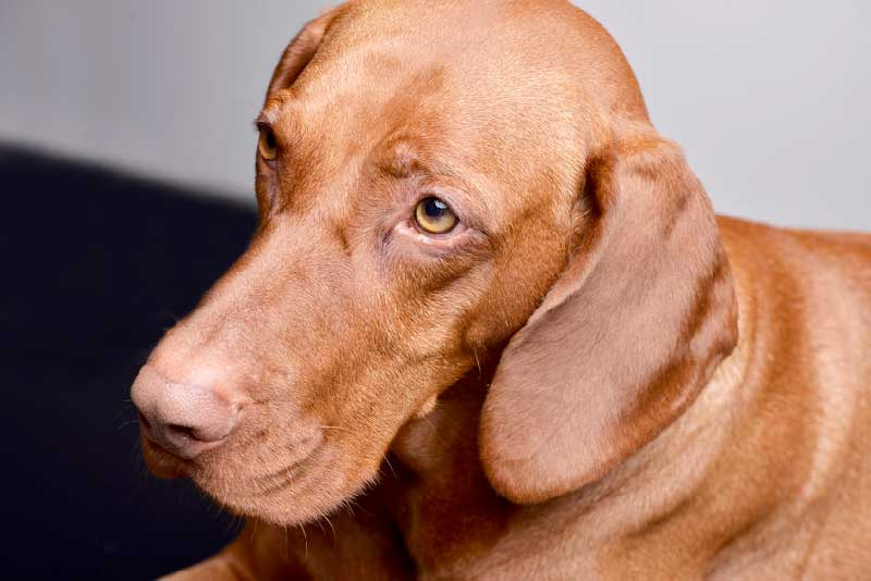 Intriguing Facts About the Very Intelligent Vizsla Dog Breed