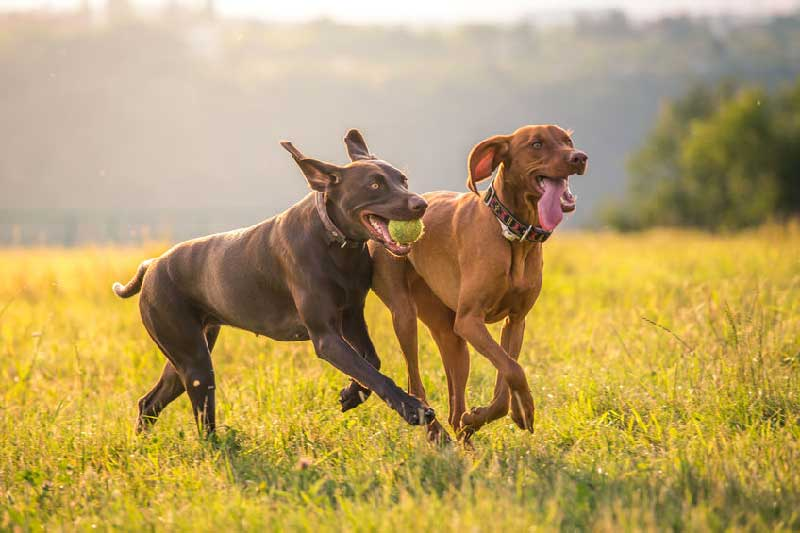 Vizsla Exercise Ideas