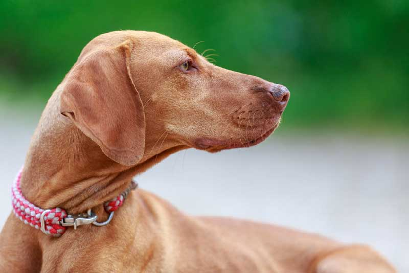 9 Things You Didn't Know about the Hungarian Vizsla