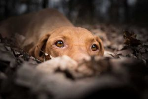 10 Things I Wish I Knew Before Getting a Vizsla