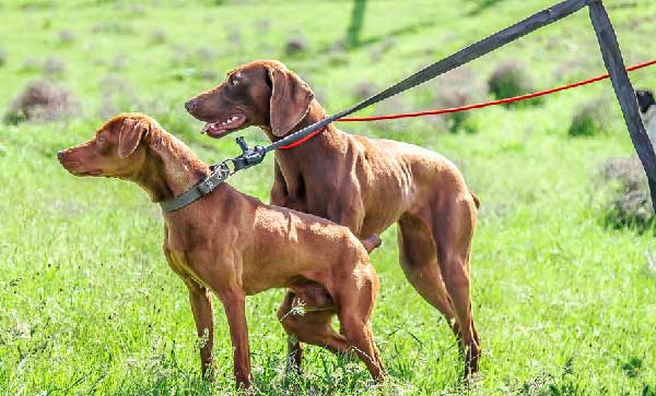 Ten Reasons to Clicker Train Your Vizsla