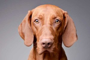 Are You Ready for a Vizsla?