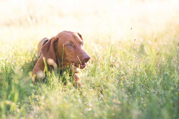 How to Keep Your Vizsla Safe in the Summer?
