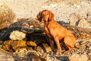 10 Ways to Help Your Vizsla Stay Slim