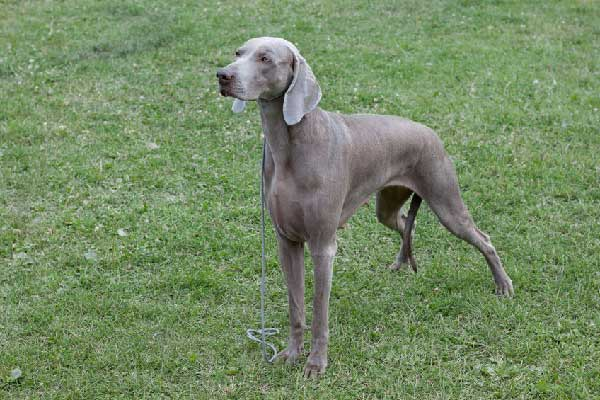 Are Weimaraner Good Family Dogs?