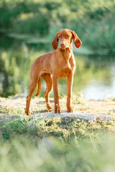 Is Jogging Or Running Safe for Vizsla Dogs?