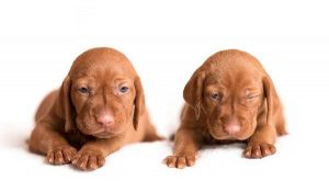 8 Step Guide to Buying a Vizsla Puppy