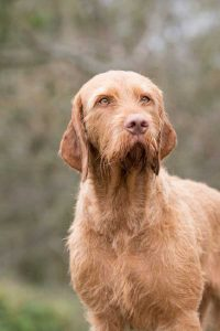 Wirehaired Vizsla Puppy Guide