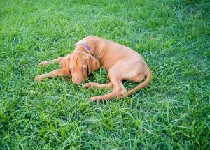 Guide for Anyone Thinking Of Rehoming a Vizsla