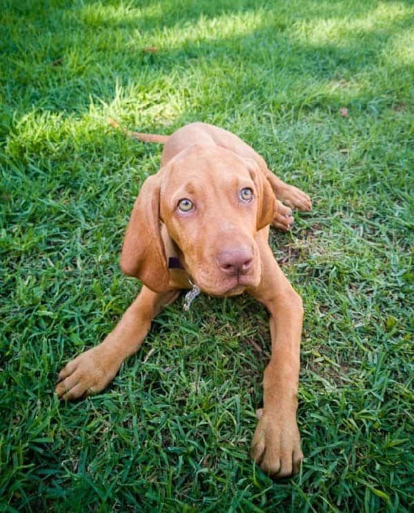 Do Vizsla Dogs Have Memories?
