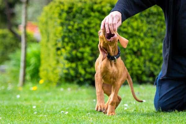 Why Is Cat Food Dangerous for My Vizsla?