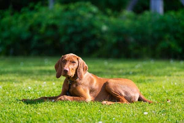 Does Your Vizsla Have Anxiety?