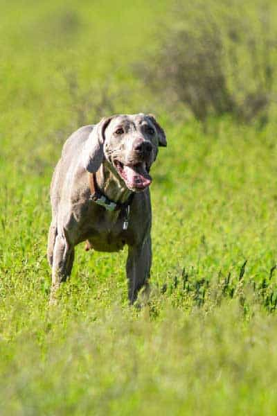 Can a Weimaraner Be Left Home Alone?