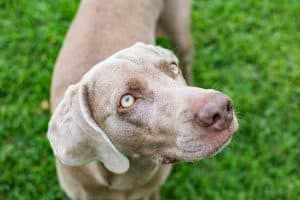 What is the Best Dog Food for a Weimaraner?