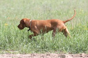 Are Vizslas Pointers?