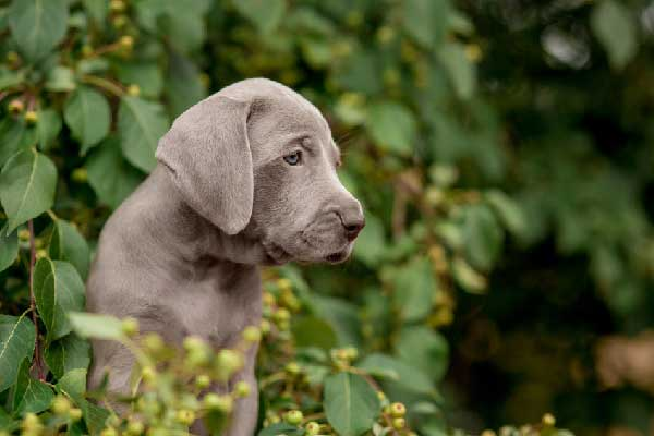 How Much are Weimaraner Puppies?