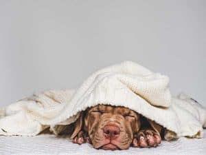 The Essentials of Vizsla Puppy Training
