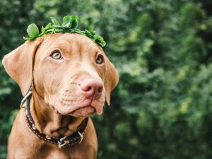 How to Keep Your Vizsla Breath Fresh?