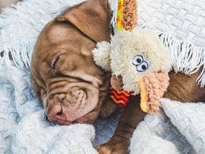 How to Feed a Vizsla Puppy?
