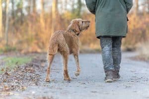 Are Wirehaired Vizslas Good with Cats?
