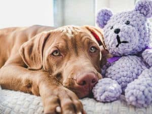 Why Do Vizsla Dogs Snore, and is It Normal?