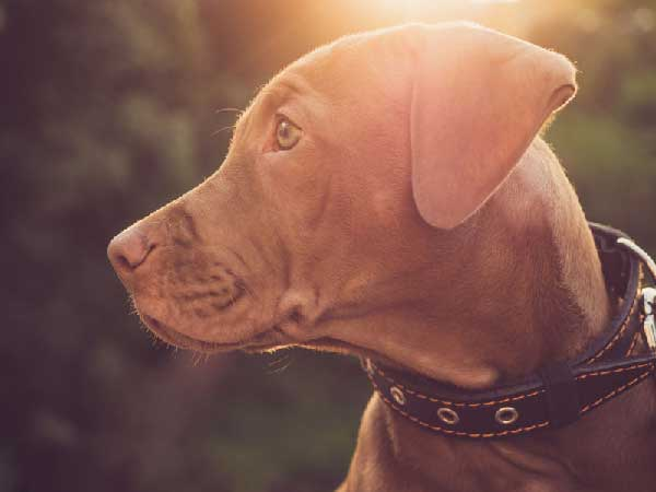 Safety Tips for Walking Your Vizsla Dog at Night