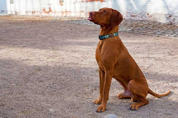 Do Vizsla Dogs Sweat?