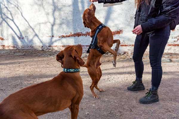 Teach a Vizsla Dog to Take a Treat