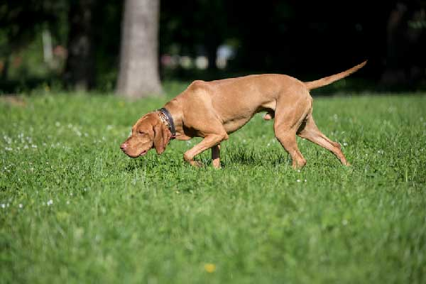 Can a Vizsla Be a Service Dog?