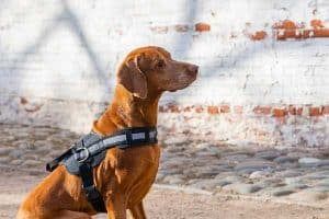 10 Tips for Traveling with a Vizsla Dog