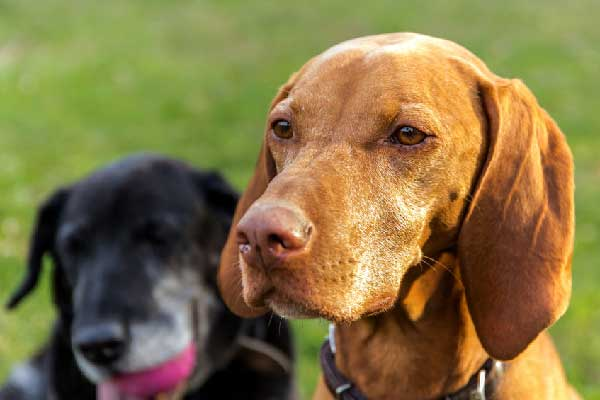 Help Your Vizsla Lose Weight