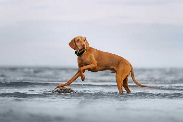 How to Keep Your Vizsla Puppy Safe around Your Pool?
