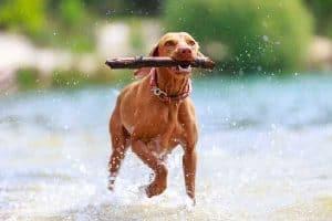 Buying a Life Jacket for Your Vizsla Dog