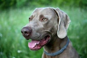 How Much Sleep Does a Weimaraner Need?