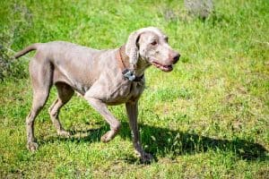 Are Weimaraners Good Guard Dogs?